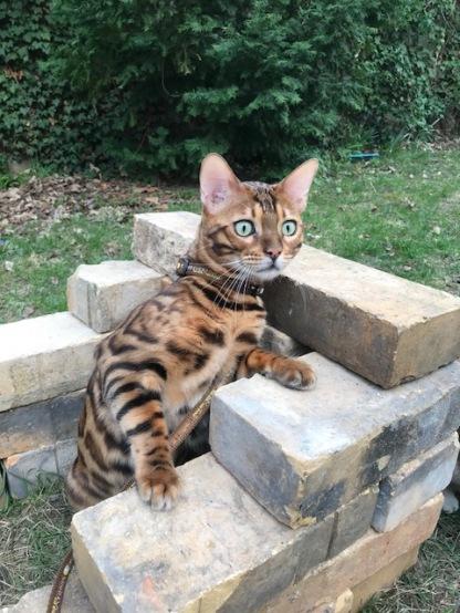 Timur Katzengeschirr4