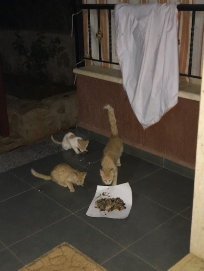 Libanon Katzen 4