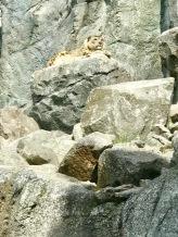 Zoo Leipzig Schneeleopard 2
