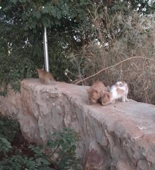 Libanon Katzen 13