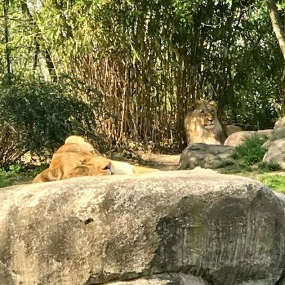 Zoo Leipzig Löwen 2