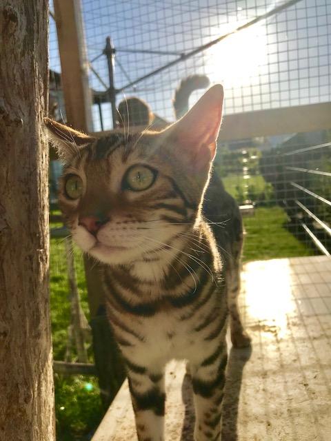 Bengalkatzen7