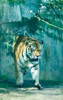 Zoo Leipzig Tiger Papa