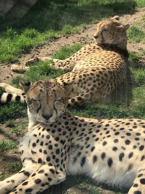 Zoo leipzig südafrikanische geparden 2