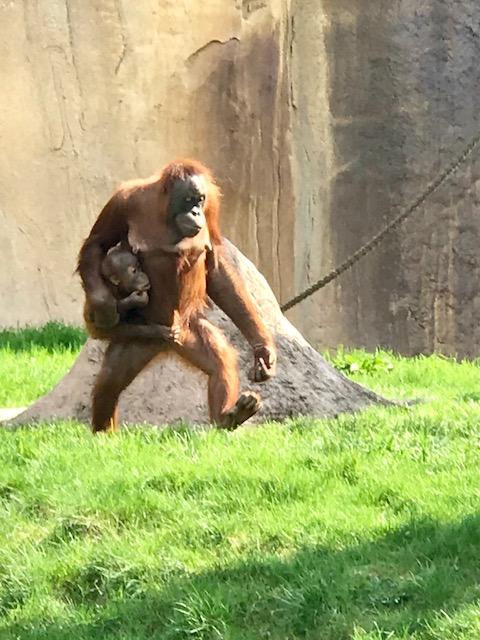 Zoo Leipzig Orang Utan 3
