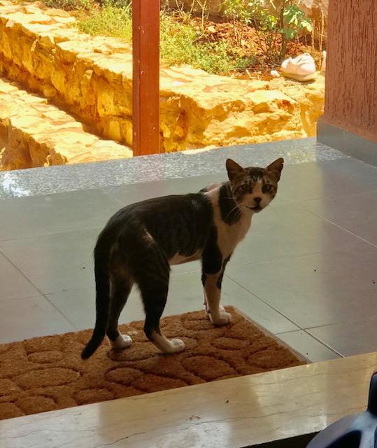 Libanon Katzen 15