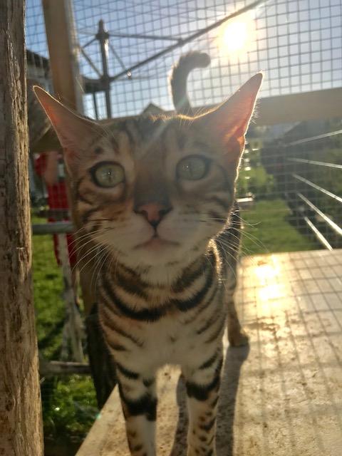 Bengalkatzen6
