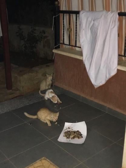 Libanon Katzen 3