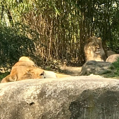 Zoo Leipzig Löwen 3