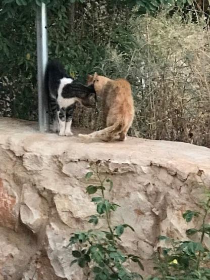Libanon Katzen 6
