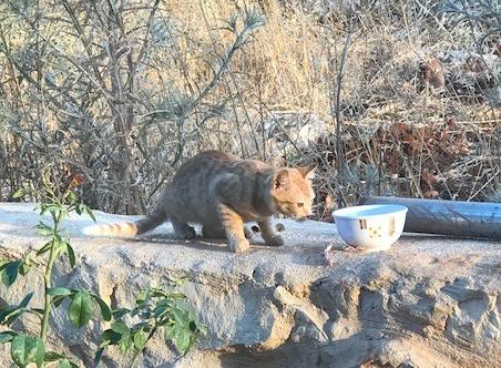 Libanon Katzen 16