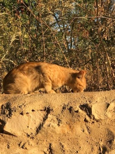 Libanon Katzen 8