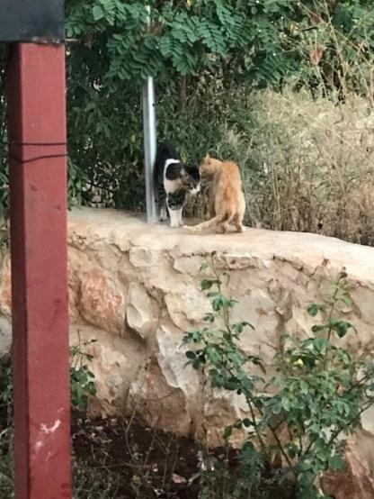Libanon Katzen 5
